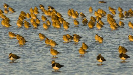 Golden plover are among the species that now frequent Horsey Island at Braunton. Picture:Andrew Park