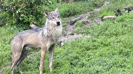 One of the two Exmoor Zoo Eurasian wolves. Picture: Tony Gussin