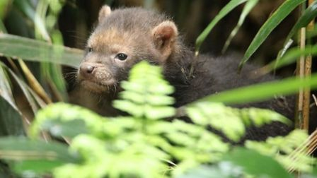Tank the bush dog pup is the latest arrival at Exmoor Zoo. Picture: Miriam Haas