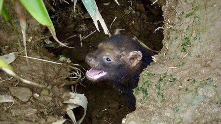 Tank the bush dog pup is the latest arrival at Exmoor Zoo. Picture: Exmoor Zoo