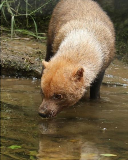 An adult bush dog drinking at Exmoor Zoo. Picture: Miriam Haas