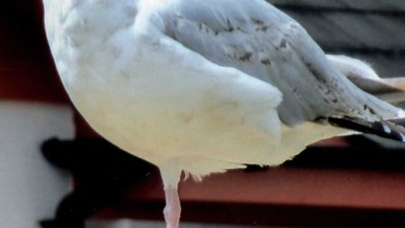 One legged seagull at Exmouth