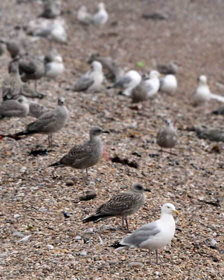 Gulls on Sidmouth beach. Picture by Alex Walton. Ref shs 9028-31-13AW