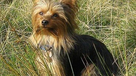 Yorkshire Terrier Rigsby