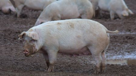 The proposed pig farm at Venn Ottery would have accommodated some 750 animals