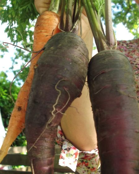 The prize winning 'fattest carrots'