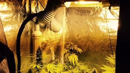 Four cannabis plants being grown in an Arcot Park home