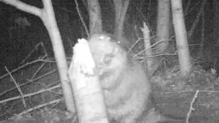 One of the beavers living on the River Otter. Picture by Tom Buckley.