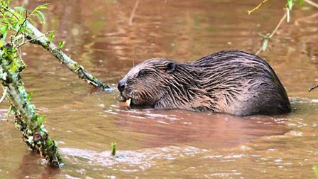 One of the River Otter beavers. Picture: Devon Wildlife Trust