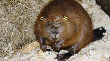 One of the beavers sporting its new tracking tags. Picture: Nick Upton.