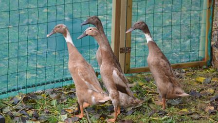 Ducks are part of a new animal husbandry project at Sidmouth College