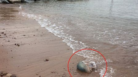 Large barrel jellyfish washed up on the beach at Sidmouth,