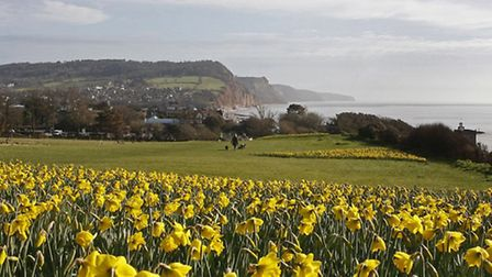 Daffodils out for the first time on Peak Hill after the planting of a million bulbs in the Sid valle