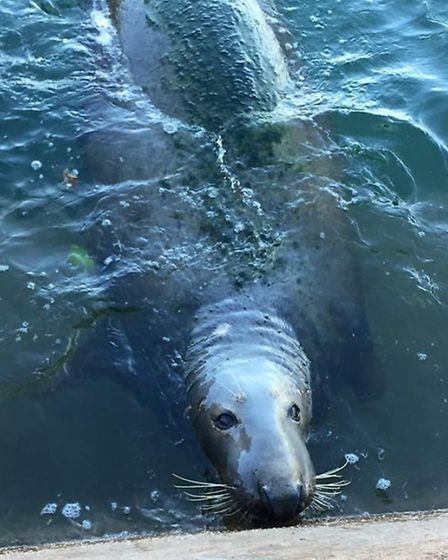 Seal seen in Sidmouth