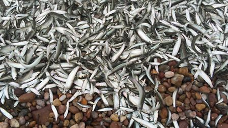 Thousands of baitfish beached themselves on Sidmouth's shingle at the weekend