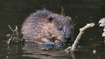 Healthy beaver kits photographed on the River Otter this week by Sylvie Meller. Ref sho beaver5