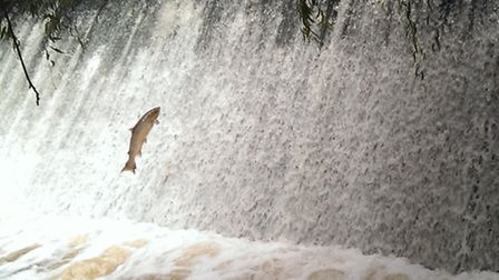 The salmon attempts to jump up the weir to continue its migratory process.