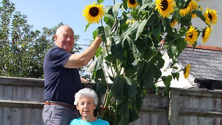 Marion and Barry Perry with their unusual multi-headed sunflower. Ref shs 9297-39-15AW. Picture: Ale