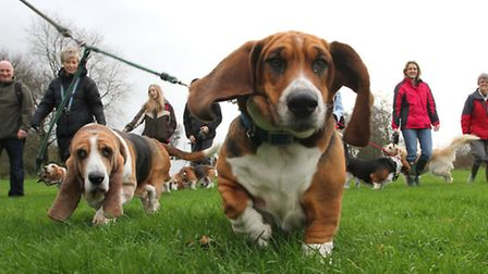 Dogs' Day Out- Members of the Bassett Hound Walkers' Club took their pets for a five mile jaunt alon
