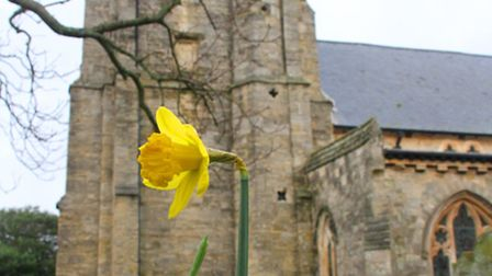 Daffodils have started to bloom as the new year begins. Ref shs 0030-01-16SH. Photo Simon Horn