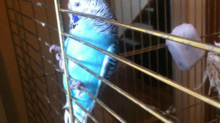 Appeal for owners of lost budgie found in Sidmouth garden to come forward
