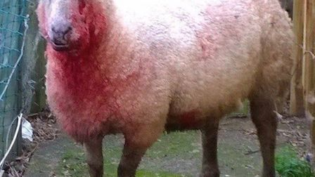 The sheep that was attacked by a dog