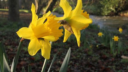 Daffodils blooming alongside the River Sid in the Byes. Ref shs 3056-04-16SH. Picture: Simon Horn