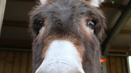 A donkey at the Donkey Sanctuary. Picture by Alex Walton. Ref shs 2666-03-14AW. To order your copy o