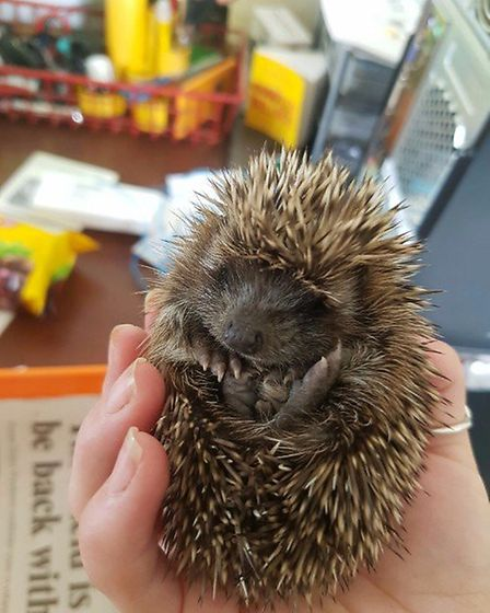One of the hedgehogs curled up ready to embark on a journey to its new home.