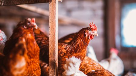 Defra has declared a Prevention zone requiring poultry owners to keep their birds indoors