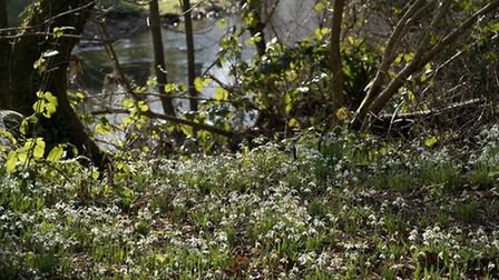 Snowdrops in Margaret's Meadow. Picture: Eve Mathews.