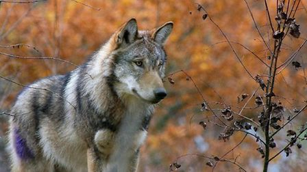 A pack of six sibling wolves have arrived at Escot Park.