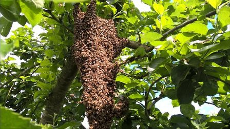 East Devon Beekeepers are asking residents to keep an eye out for bees swarming. This is a swarm of