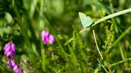 A green hairstreak butterfly having a respite. Picture: Alex Walton Photography