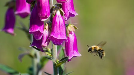 A bee seeks out nectar from a clump of foxgloves. Picture: Alex Walton Photography