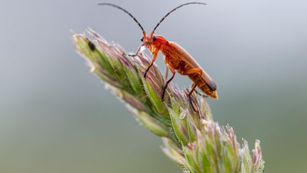 A red soldier beetle keeps watch.