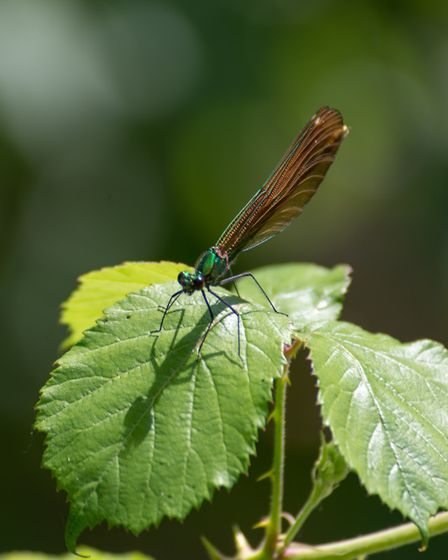A damselfly basks in the sun.