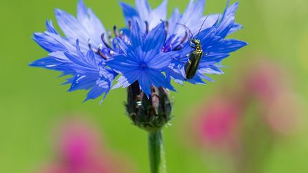 An emerald green beetle investigates a cornflower.