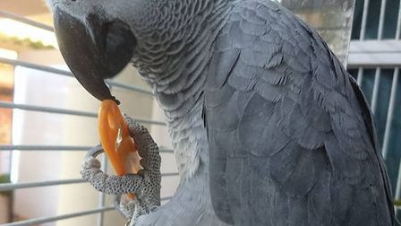 Theo the African grey parrot has escaped from his home at Wyevale Garden Centre. Anyone who sees him