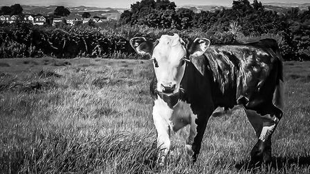 Calf in the field. Picture: Mark Hayes