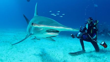 Diver and greater hammerhead in the foreground.
