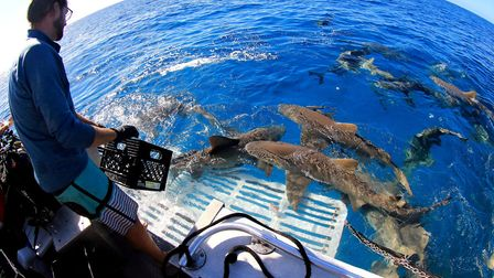Lemon sharks cruise around the boat constantly.