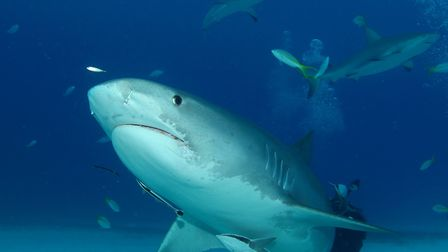 The powerful and beautiful tiger shark.