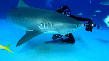 This tiger shark takes an interest in the moving camera.