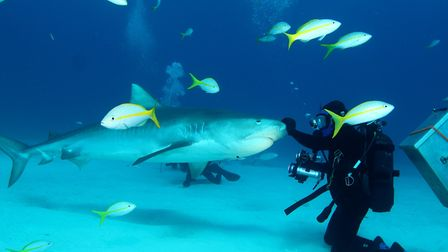A diver holds the snout of a tiger shark.