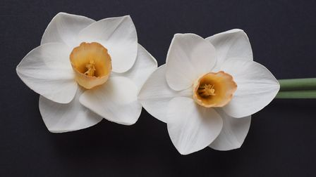 The new daffodil variety named after benefactor Keith Owen, who left his £2.3million fortune to Sidm