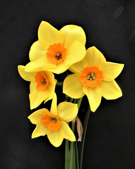The new 'Sidmouth' daffodil