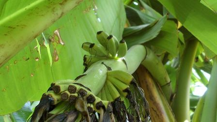 Tiny fruits growing on Mike Grant's banana plant