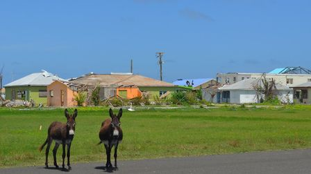 Feral donkeys have strayed onto the runway at Codrington Airport in Barbuda after its perimeter fenc