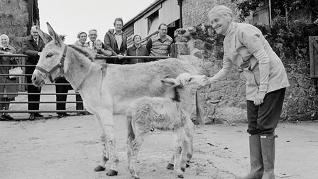New arrival - Twyny, at the Donkey Sanctuary. Ref shs New donkey at sanctuary Nost 1980-3. Picture: